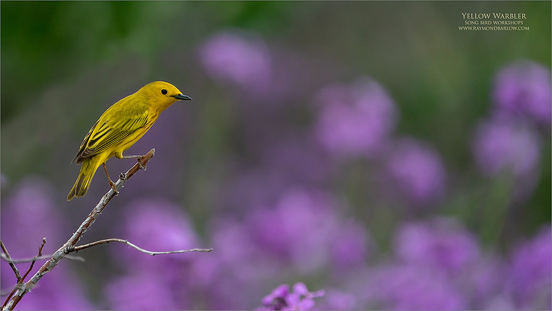 A very pretty warbler!<br /> <br /> Maria and I were fighting over our one camera the supports the one long lens that we own.  So, on a timer, 20 minutes each, we do our best to catch this beauty.<br /> <br /> Yellow warbler, probably the easiest of the species to photograph, and of course, good fun.  Keeping a good distance away, this bird was comfortable posing for the camera.<br /> <br /> Testing the AF settings on the A9 camera, and working with a low ISO to keep the files within a good crop range.  So at ISO 640, this one worked out well with a fairly heavy crop.<br /> <br /> Appreciate the views, and please share if you wish!