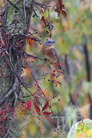 a Missouri Blue Bird