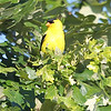 a resting Golden Finch