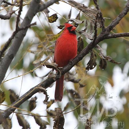 regal Cardinal