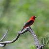 a Scarlet Tanager in Queeny Park late evening in May