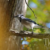 a Blue Jay in the fall