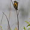 a Dickcissel in the breeze