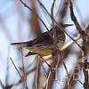 Colo Meadowlark