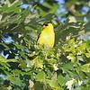 a Golden Finch