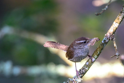 Bewick's Wren. Point Reyes National Seashore.
