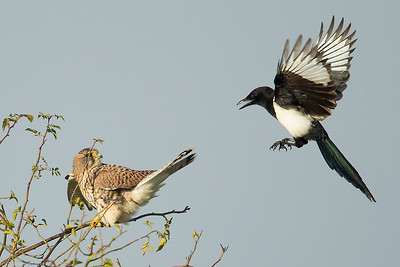 Magpie and kestrel, Berlin, Oct.2014