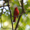 a Summer Tanager, male, in Queeny Park, St. Louis County, Missouri