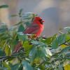 proud Cardinal