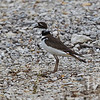 a Killdeer at rest