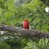 a Summer Tanager stops in St. Louis