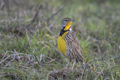 Western Meadowlark, Point Reyes National Seashore.