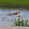a Killdeer in flight