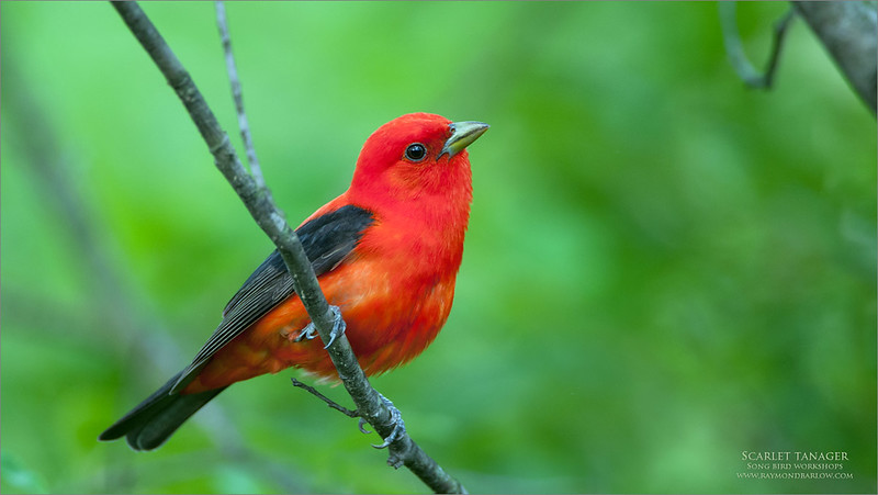 Scarlet Tanager<br /> <br /> 11 Years ago, on a fun shoot with a buddy for a day trip.<br /> <br /> We had a few of these beauties around, so the shutter kept busy!<br /> <br /> Image taken with my firs D300 and the 200-400 VR1.<br /> <br /> I hope to try it again with my Sony gear this spring.<br /> <br /> Thanks for looking!