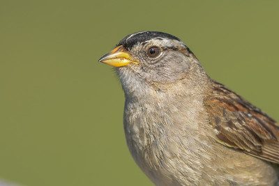 White-crowned Sparrow, Point Reyes National Seashore.