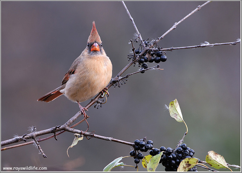 Female Northern Cardinal1 w3