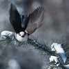 Gray Jay in Flight