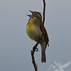 a singing Dickcissel in BK Leach