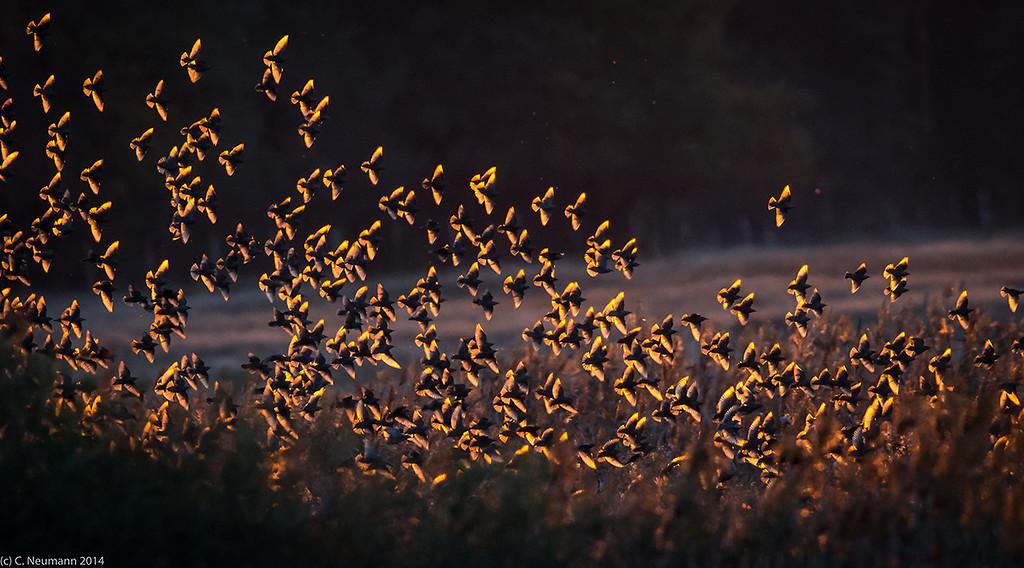 Eurasian starlings (Sturnus vulgaris) at their sleeping roost lit by the evening sun