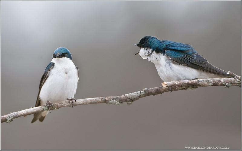 Tree Swallows having a Chat
