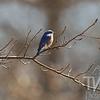 Eastern Bluebird in Mo.