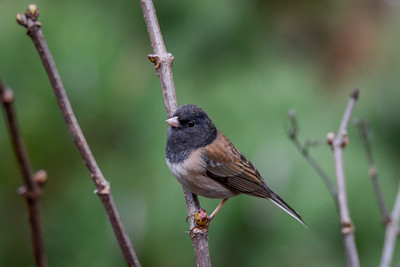 Oregon Junco, Inverness, California.