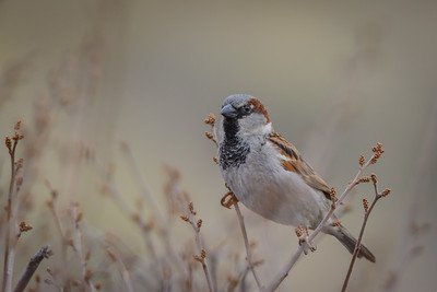 House Sparrow, Point Reyes National Seashore.