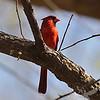 "a ""St. Louis"" Cardinal"