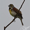watchful eye of a Dickcissel