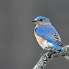 One last Bluebird!<br /> <br /> thanks for looking.