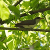 a Yellow-billed Cuckoo in Rt 66 Park