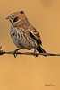A Lark Bunting taken Oct. 3, 2010 near Portales, NM.