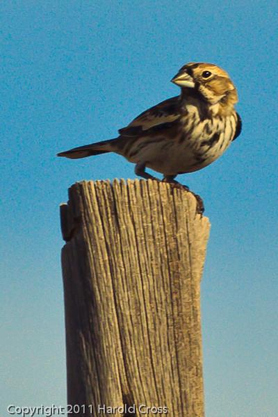 A Lark Bunting taken Oct. 31, 2011 near Muleshoe, TX.