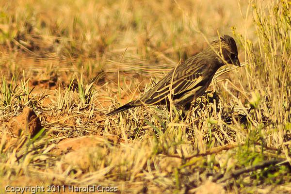 A Lark Bunting taken Oct. 30, 2011 near Portales, NM.