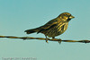 A Lark Bunting taken Oct. 31, 2011 near Muleshoe, TX.