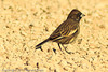 A Lark Bunting taken Oct. 30, 2011 near Portales, NM.