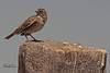 A Lark Bunting taken May 15, 2011 near Portales, NM.