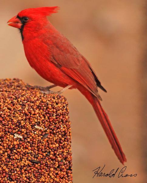 A Northern Cardinal taken Jan 31, 2010 in Apache Junction, AZ.