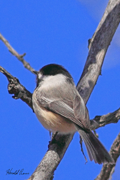 A Black-capped Chickadee taken Apr 1, 2010 in Grand Junction, CO.