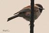 A Chesnut-backed Chickadee taken June 10, 2011 near Bridgeville, CA.