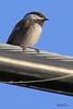 A Chesnut-backed Chickadee taken April 18, 2010 near Bridgeville, CA.