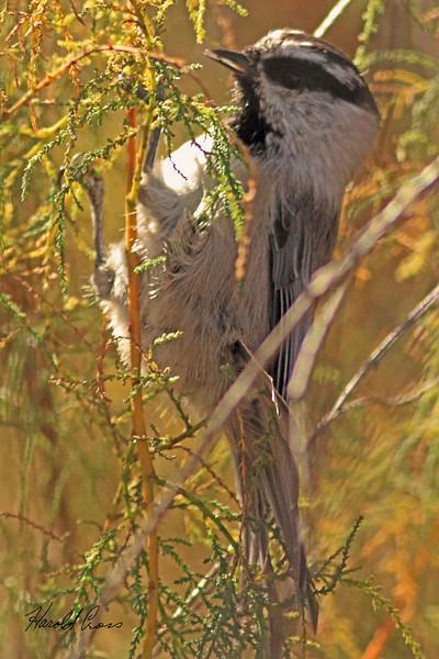 A Mountain Chickadee taken Nov. 2, 2010 near Fruita, CO.