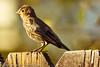 A Cassin's Finch taken Sep. 1, 2011 in Fruita, CO.