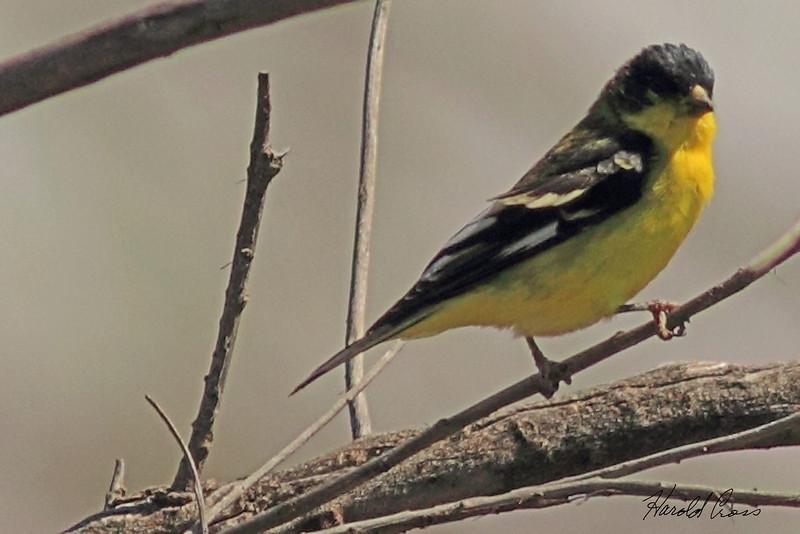 A Lesser Goldfinch taken June 3, 2011 near Fruita, CO.