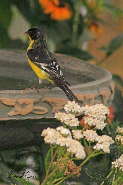 A Lesser Goldfinch taken Aug 10, 2010 near Denver, CO.