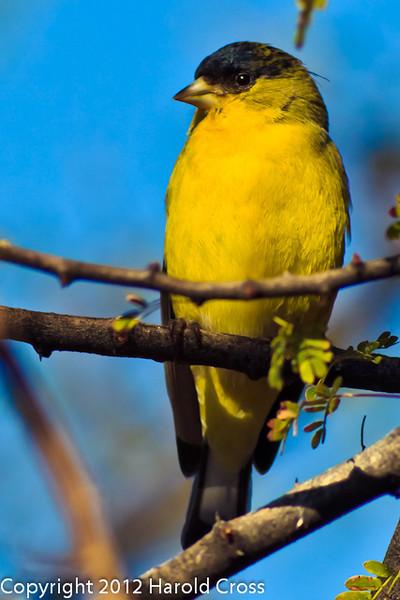 A Lesser Goldfinch taken Feb. 13, 2012 in Tucson, AZ.