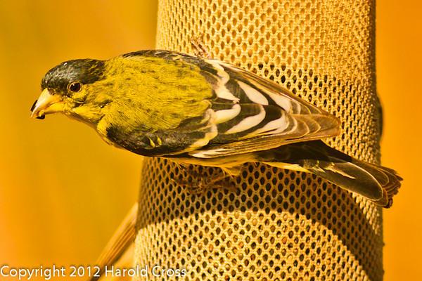A Lesser Goldfinch taken Feb. 9, 2012 in Tucson, AZ.