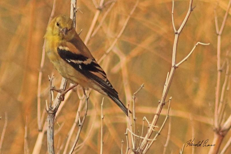 A Lesser Goldfinch taken Sep 21, 2010 near Pocatella, ID.