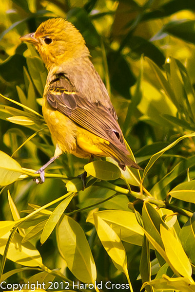 A Lesser Goldfinch taken Jun. 20, 2012 in Bridgeville, CA.
