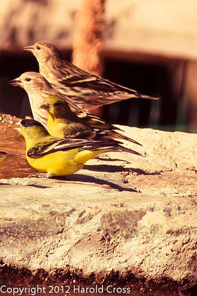 Lesser Goldfinchs and Pine Siskins taken Feb. 27, 2012 in Madera Canyon, AZ.